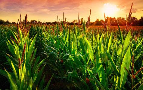 Corn Changing Weather Patterns